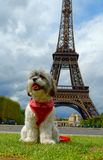 Puppy in Paris. Puppy in Front of Eifel Tower Stock Image