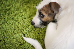 Puppy Parson Terrier Royalty Free Stock Photos
