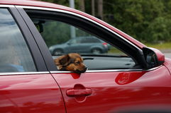 Puppy passenger. A small dog takes a summer road trip Stock Images