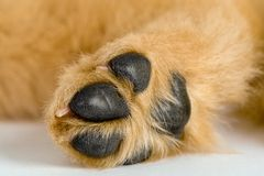 Puppy Paw Stock Photo
