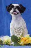 Puppy in pearls. Royalty Free Stock Image