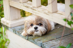 Puppy peeking from porch Royalty Free Stock Photos