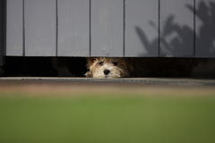 Puppy peering out under gate. Cross breed puppy dog with white coat peering out under a wooden gate Royalty Free Stock Photos