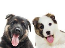 Puppy  peering Royalty Free Stock Photo