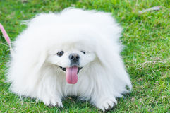 Puppy Pekingese breed, white dog , loveliness Royalty Free Stock Image