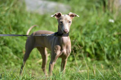 Puppy Peruviaanse Kale Hond stock afbeelding