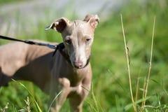 Puppy Peruviaanse Kale Hond stock fotografie