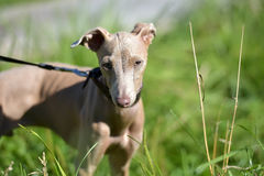 Puppy Peruvian Hairless Dog. Peruvian Hairless Dog (Peruvian Inca Orchid, the Inca Hairless Dog stock photography