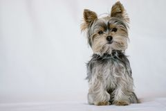 Puppy pet posing for food royalty free stock photography