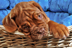 Puppy in pet's cot. Lovely puppy lying in cot with thick paw Royalty Free Stock Photo