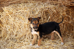 Puppy pet standing on hay Stock Photo