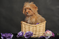 Puppy Petersburg orchid  in a basket Stock Photos