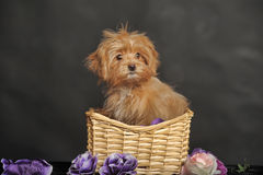 Puppy Petersburg orchid  in a basket Royalty Free Stock Images