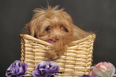 Puppy Petersburg orchid  in a basket Royalty Free Stock Photo