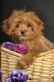 Puppy Petersburg orchid  in a basket Royalty Free Stock Photos