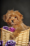 Puppy Petersburg orchid  in a basket Stock Photography