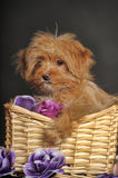 Puppy Petersburg orchid  in a basket Stock Images