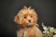 Puppy Petersburg orchid Stock Image
