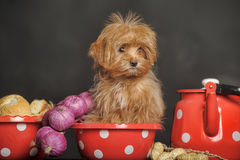 Puppy Petersburg orchid Stock Photography