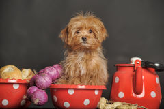 Puppy Petersburg orchid Royalty Free Stock Photos