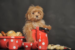 Puppy Petersburg orchid Royalty Free Stock Images