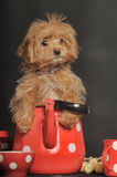 Puppy Petersburg orchid Royalty Free Stock Photo