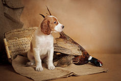 Puppy and pheasant Stock Image
