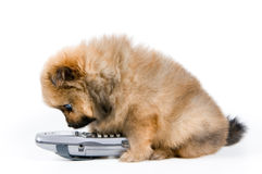 The puppy with phone. The puppy of the spitz-dog with phone Royalty Free Stock Photo