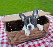 Puppy Picnic Stock Image