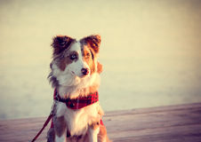 Puppy on Pier Royalty Free Stock Photography