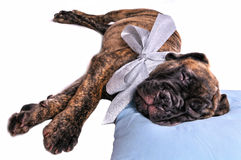 Puppy on a Pillow Stock Photography