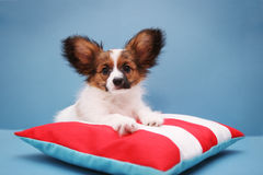 Puppy on pillow on a blue Royalty Free Stock Images