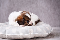 Puppy on a pillow Royalty Free Stock Photography