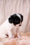 Puppy on a pink background Royalty Free Stock Photos