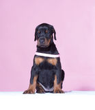 Puppy with pink belt Stock Photos