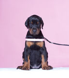 Puppy with pink belt Stock Image