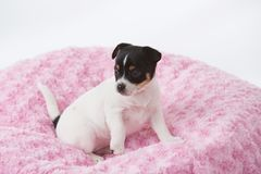 Puppy on pink blanket stock images