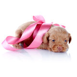 Puppy with a pink bow. Stock Photo