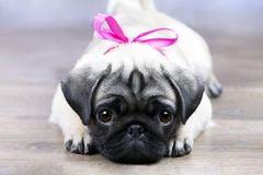 Puppy with a pink bow. The pug puppy is lying on the floor with a pink bow and looks cute stock image