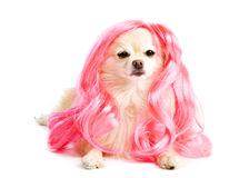 Puppy with a Pink Hair-do royalty free stock photo