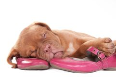 Puppy and pink shows Royalty Free Stock Photography