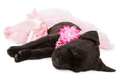 Puppy in Pink Sleeping Stock Photo