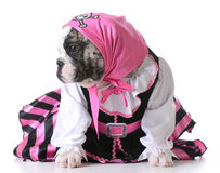 Puppy pirate Royalty Free Stock Photo
