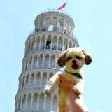 Puppy in Pisa. Shitzu malteser mix malshi in Pisa Royalty Free Stock Image
