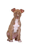 Puppy pit bull. A red nose pit bull puppy on a white background stock images