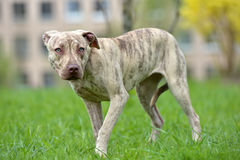 Puppy pit bull terrier 6 months old Stock Images