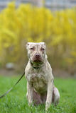 Puppy pit bull terrier 6 months old Stock Photography
