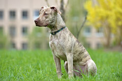 Puppy pit bull terrier 6 months old Stock Photos
