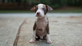 Puppy pitbull cute beautiful brown and white siting in driveway floppy ears stock image