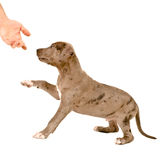 Puppy of pitbull gives a paw Royalty Free Stock Photography